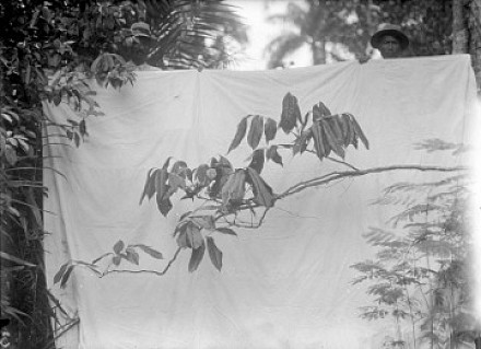 Credits image: Photographer unknown, 1933 | 13 x 18cm (5 1/8 x 7 1/16in.) | Nekoe plants (Lonchocarpus spec) a vine used in fishing to stun and kill fish. | From the Culture Garden in Paramaribo, found as a young plant in 1922 from the primeval forest.